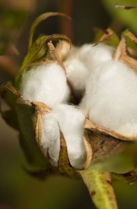 cotton-plant-with-seed-capsule-open-PARV934
