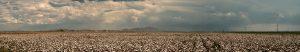 arizona-cotton-panorama