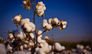 cotton_field